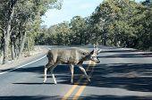 Deer Walking On The Road