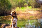 Funny Portrait Of Pure Breed Beagle Dog Seated At Trunk Lakeside. Big Ears Listening Or Hear Concept poster