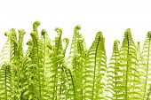 Leaves of wild young fern isolated on white. Solar lighting. Spring.