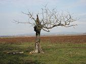 Alter Baum im Lonjsko Polje