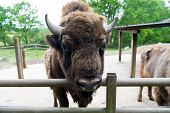 Buffalo Wildlife. Head With Horns. Buffalo Bull Concept. Animal Bull In Zoo Or Shelter. Bull Bison C poster