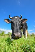 The Portrait Of Cow With Big Snout On The Background Of Green Field. Farm Animals. poster