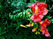 Beautiful Red Flowers Of Trumpet Vine Or Trumpet Creeper (campsis Radicans). Campsis Flowers, Bloomi poster