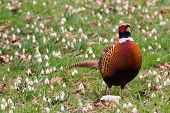 pic of game-cock  - Male or Cock Pheasant in a field with snowdrop flowers growing - JPG