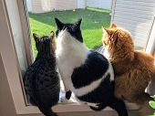 Three Cats Sitting Together On A Window Sill Looking Out The Window Into The Backyard.one Cat Is Gre poster