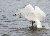 Trumpeter Swan (Cygnus buccinator) On The Attack