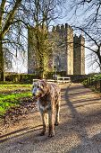 Irish wolfhound at Bunratty castle and Folk Park, Co. Clare, Ireland