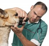 Vet examining a German Shepherd in front of white background