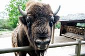 Bull Bison Closeup. Furry Brown Animal Habits In Summer Outdoor On Field In Nature. Buffalo Wildlife poster