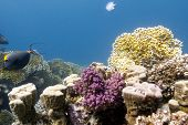 stock photo of fire coral  - coral reef with hard and fire corals on the bottom of red sea  - JPG