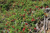 Cowberries (vaccinium Vitis-idaea) Growing In Forest