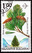 Postage stamp Bulgaria 1992 Macedonian Pine, Pinus Peuce