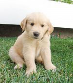 stock photo of golden retriever puppy  - two months old golden retriever puppy sitting in the grass posing for a magazine shot - JPG