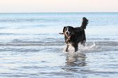 Burmese Mountain Dog Fetching a Stick at the Beach