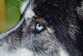 Постер, плакат: Микки голубые глаза