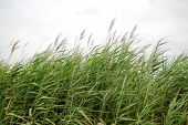 picture of sea oats  - Image of sea grass and sea oats - JPG