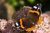 The Red Admiral Or Vanessa Atalanta