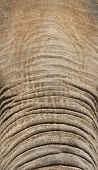 Elephant Forehead And Trunk