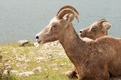 Two Big Horn Sheep