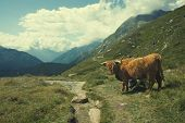 Highland cow in alpine landscape