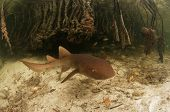 Juvenile Nurse Shark