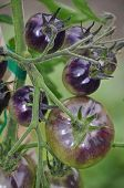 Shiny Purple Tomatoes