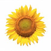 Perfect Sunflower, Completely Isolated On White Background.