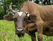 Brown Cow With Curved Horn