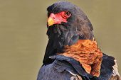 Bateleur Eagle - Wild Bird Background from Africa - Stare of Power, Pride and Plumage