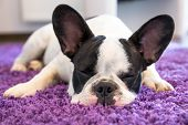 stock photo of little puppy  - French bulldog sleeping on the carpet - JPG