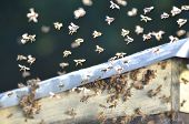 picture of swarm  - A swarm of bees trying to get into a beehive through a vent - JPG