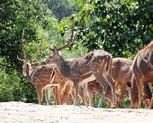 Axis Deer(spotted Deer) & Sambar Deer(philippine Deer) In A Fore
