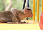 Indian Rhesus Macaque Monkey (macaca Mulatta) Playing In A Park
