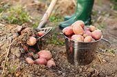 Digging Up The Potatoes