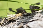 Greeny Grasshopper Clinging On Fallen Tree Stem