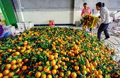 Chinese Are Discharged From Box Oranges, Fruit In  Large Pile