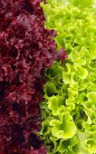 Lettuce Leaves Background