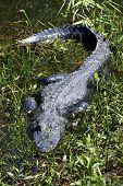 Alligator In Grass Everglades State National Park Florida Usa