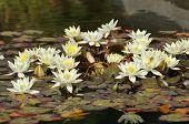 Dwarf Yellow Water-lily