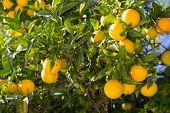 Organic Orange Tree.