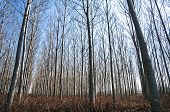Poplar plantations forest