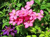 stock photo of loach  - Several flowers of pink clematis in the garden - JPG