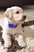 Golden retriever puppy from front view