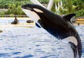 image of grampus  - A killer whale Orcinus Orca leaping from the water - JPG