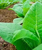 stock photo of tobaco leaf  - green tobacco field in thailand in summer - JPG