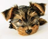 picture of yorkshire terrier  - Yorkshire terrier  - JPG