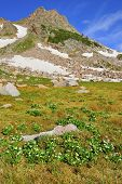Alpine Flowers And Tundra In Front Of A Mountain With Glacier, Colorado In Summer