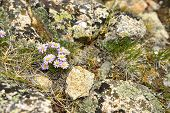 Wild Flowers In The High Altitude Alpine Tundra In Colorado During Summer