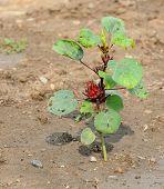 Roselle Plantation