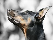 image of doberman pinscher  - Doberman Pinscher dog portrait over blurry gray background - JPG